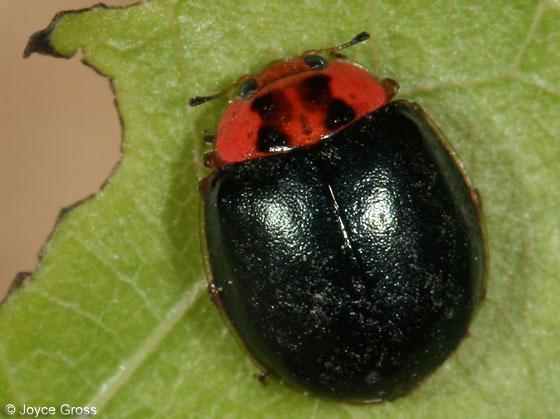 ladybeetle - Neoharmonia venusta