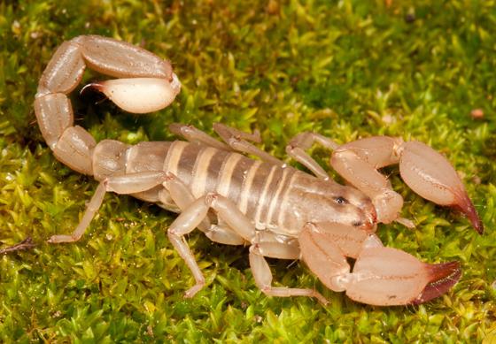 Scorpion - Uroctonites montereus