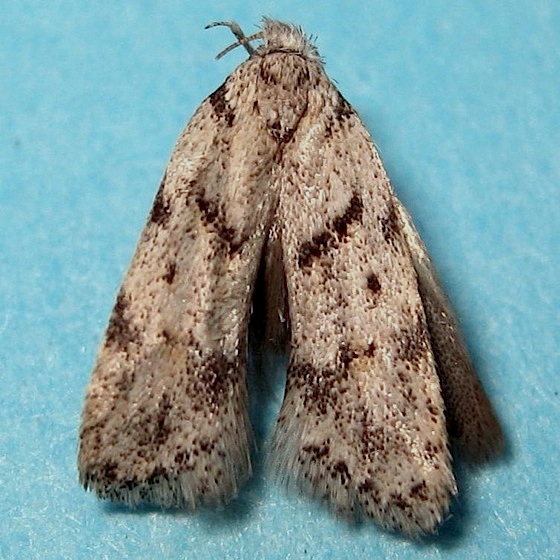 Small moth - Symmoca signatella