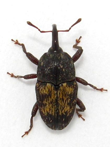 weevil - Glyptobaris lecontei