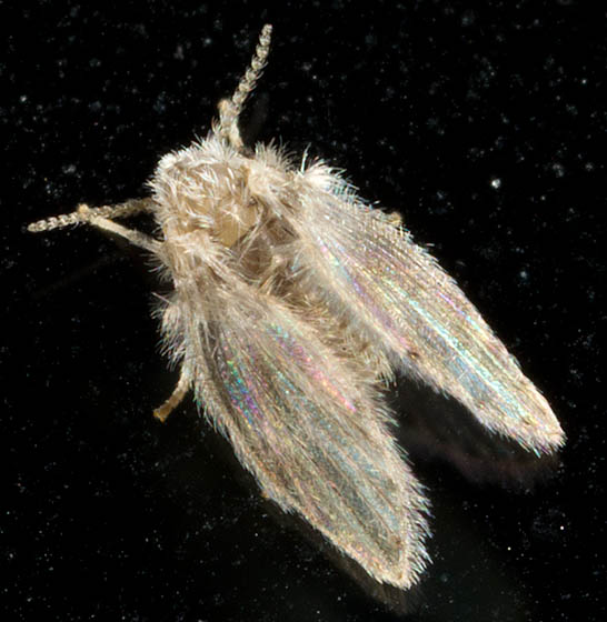 Small White Furry Moth Fly