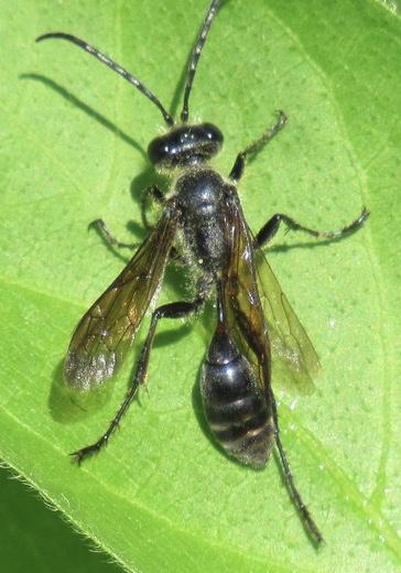 Wasp (Isodontia sp.) - Isodontia mexicana