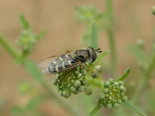 Syrphid fly - Eupeodes volucris - female