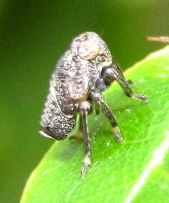 Planthopper nymph - Kathleenum