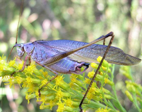 Blue Katydid - Scudderia furcata - male