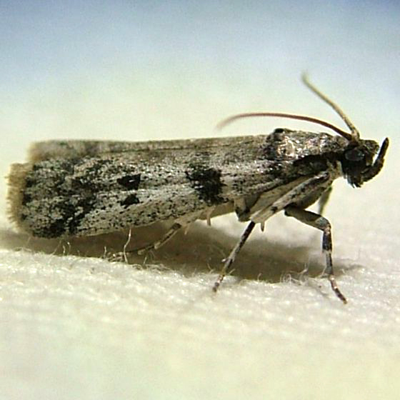 Very Weird Gray Moth - Baphala pallida