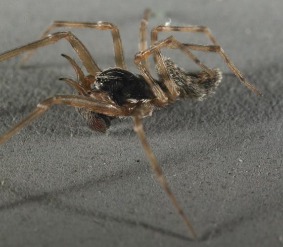 spider - Dictyna calcarata - male