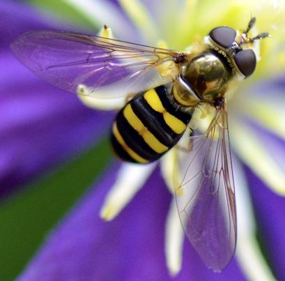 Syrphidae - Eupeodes americanus? - Eupeodes - female