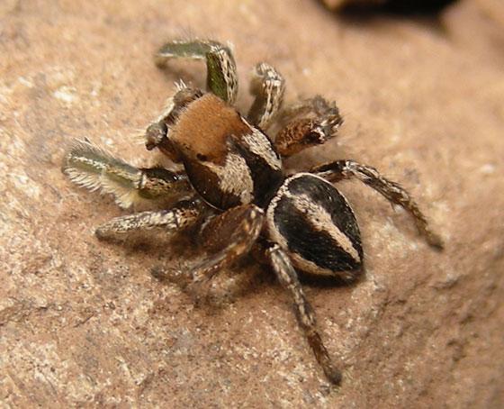 Jumping Spider brown and cream - Habronattus jucundus