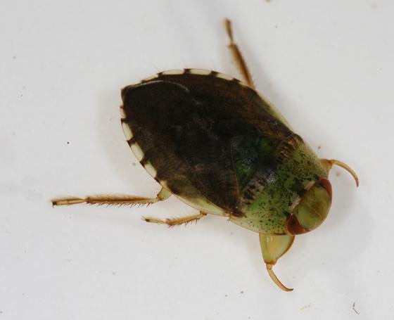 Naucoridae: Pelocoris femoratus - Pelocoris femoratus