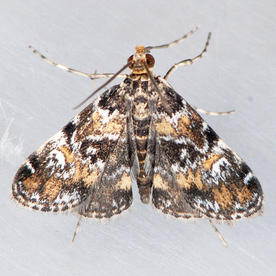 4755 Waterlily Leafcutter Moth  - Elophila obliteralis