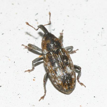 Small weevil - Cosmobaris scolopacea