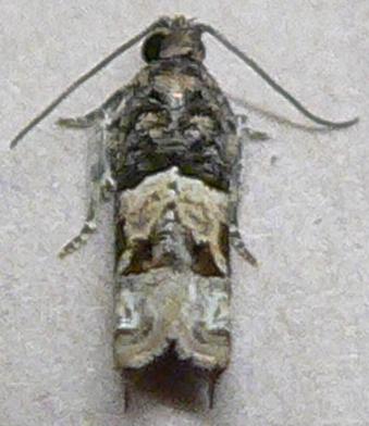 Micro Moth - Crocidosema