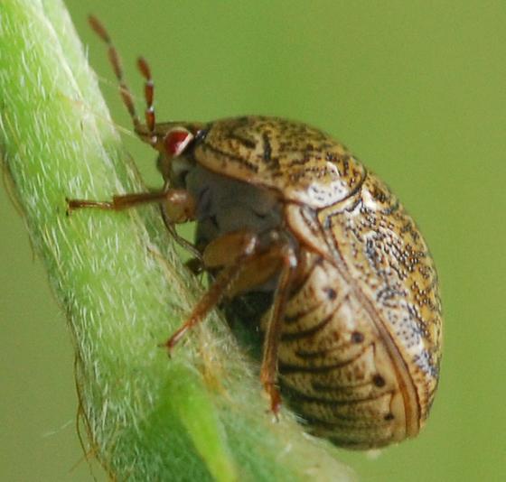 bug - Megacopta cribraria
