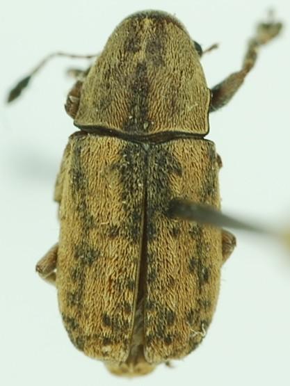 Anthribidae - Toxonotus lividus