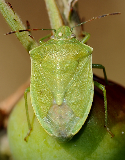Pentomidae rather olive green - Thyanta custator