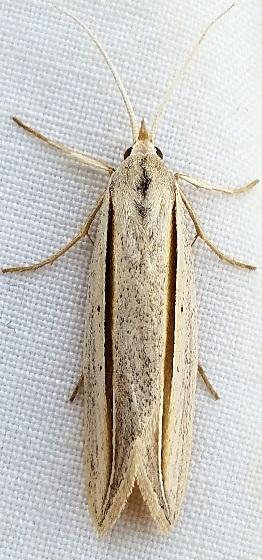 Doryodes tenuistriga? - Doryodes tenuistriga - female