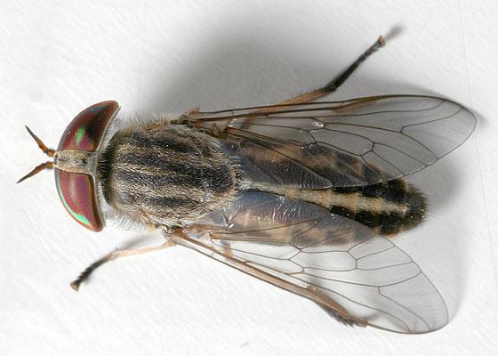 Striped Horsefly - Tabanus subsimilis - female