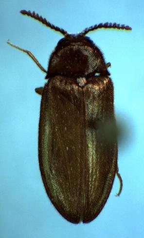 Brachypsectra fulva