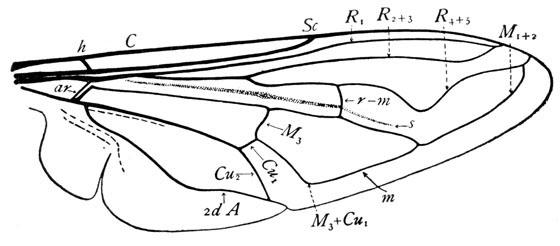 Wing venation - Eristalis