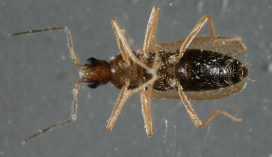 Odd Beetle-2 - Thylodrias contractus - male