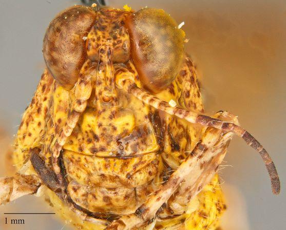 Acrididae sp.? - Cibolacris