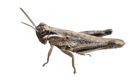 Grasshopper - Acrididae? - Paroxya atlantica