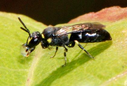 Yellow-masked Bee - Hylaeus - female
