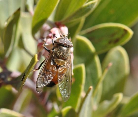 Diptera - Copestylum haagii - male