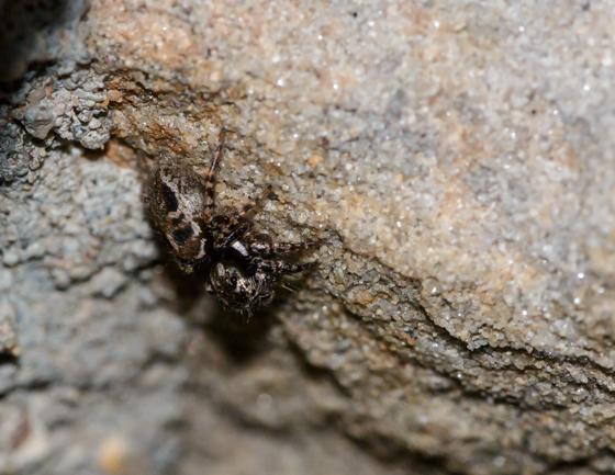 Anasaitis canosa - female