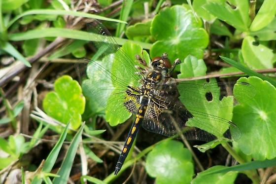 Common Skimmer? - Celithemis ornata