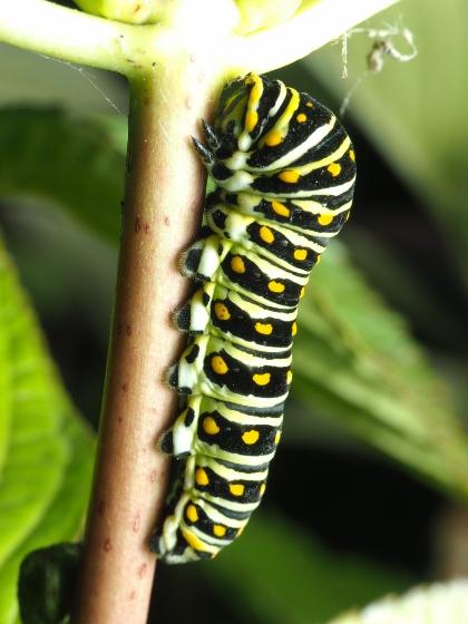 Papilio - Papilio polyxenes