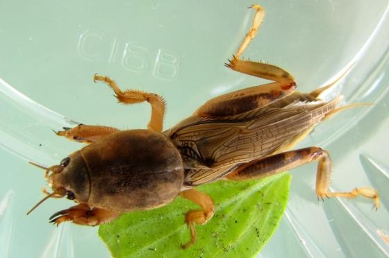 Tawny Mole Cricket - Neoscapteriscus vicinus - male