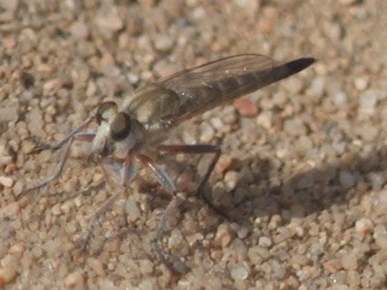 Largish fly? to ID - Proctacanthella