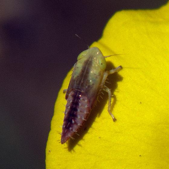 Leafhopper nymph?