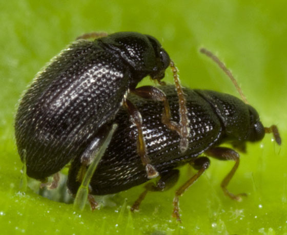 Beetle IMG_1979 - Epitrix cucumeris - male - female
