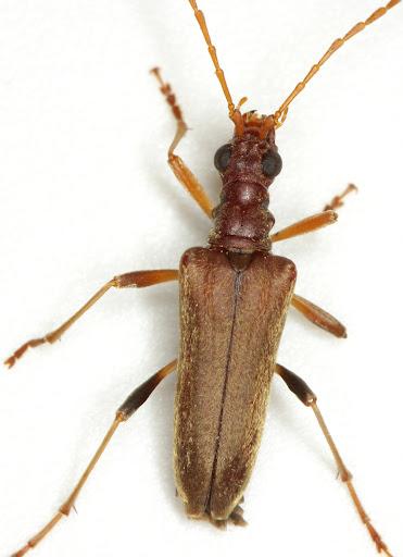 Stenocorus cinnamopterus (Randall) - Stenocorus cinnamopterus