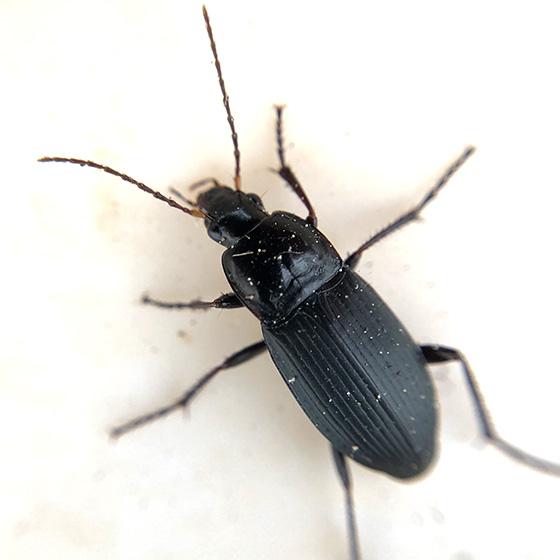 Unknown Beetle -- Pterostichini? - Calathus fuscipes