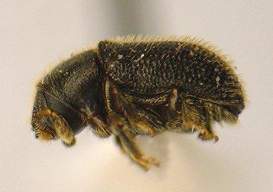 Bark beetle - Phloeotribus liminaris