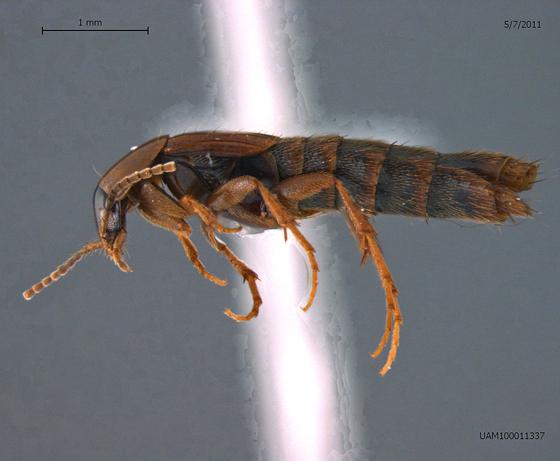 Ischnosoma splendidum