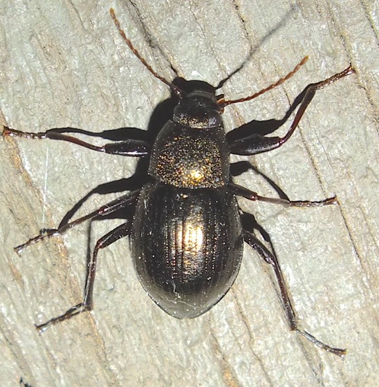 Gold-flecked Beetle - Meracantha contracta