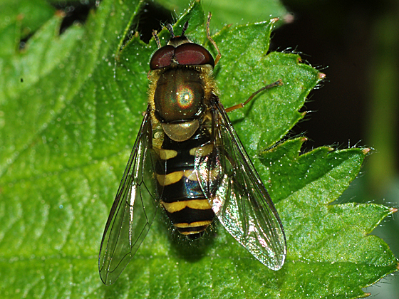 Syrphid Fly - Syrphus torvus - male