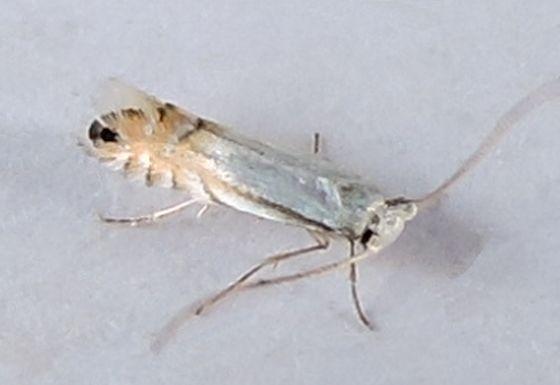 Pennsylvania Moth - Phyllonorycter argentifimbriella
