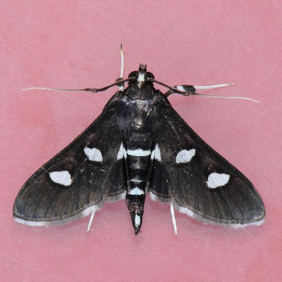 5160  - Desmia maculalis