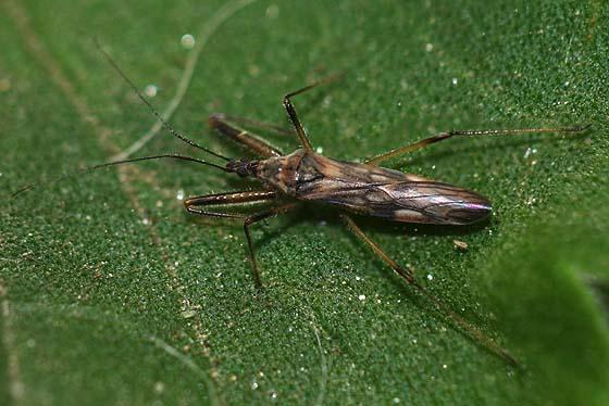 Damsel bug? - Metatropiphorus belfragii