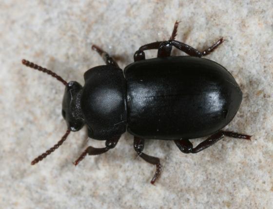 beetle 22 - Conibius gagates