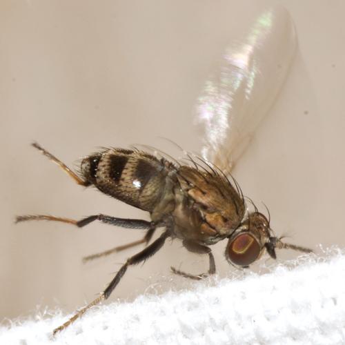 Shore Fly - Notiphila