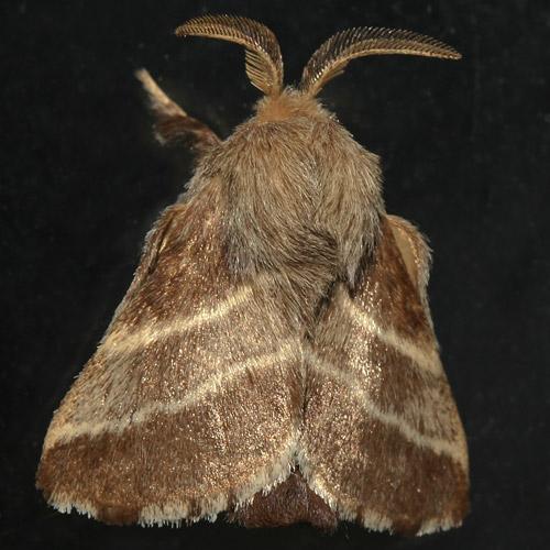 Eastern Tent Caterpillar Moth - Hodges#7701 - Malacosoma americanum