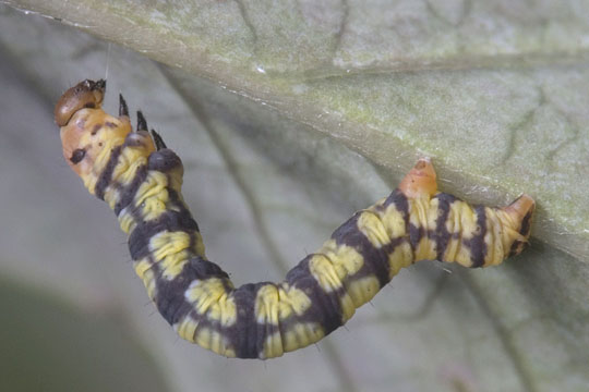 Life cycle of a White-tipped Black: fourth instar - Melanchroia chephise