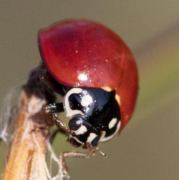 Cycloneda sanguinea - female